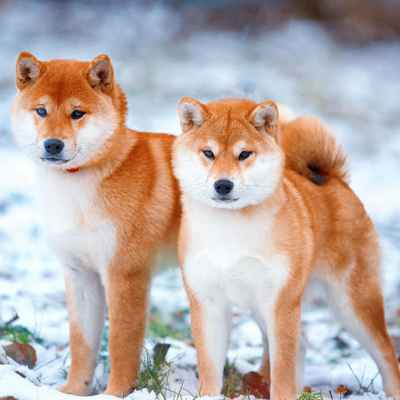 Available Shiba Inu Puppies for Sale | The Left Paw