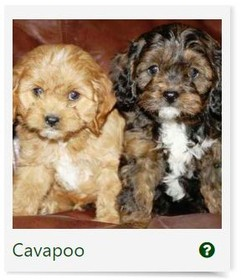 The Left Paw Puppies For Sale Financing Long Island Ny